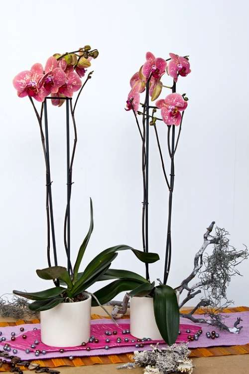 Orchids Phalaenopsis Flower Butterfly Orchid