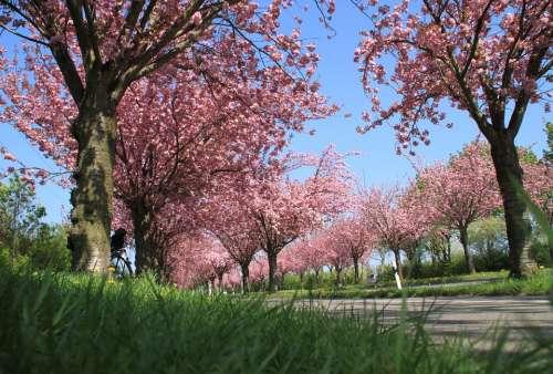 Ornamental Cherries Avenue Flowers Trees
