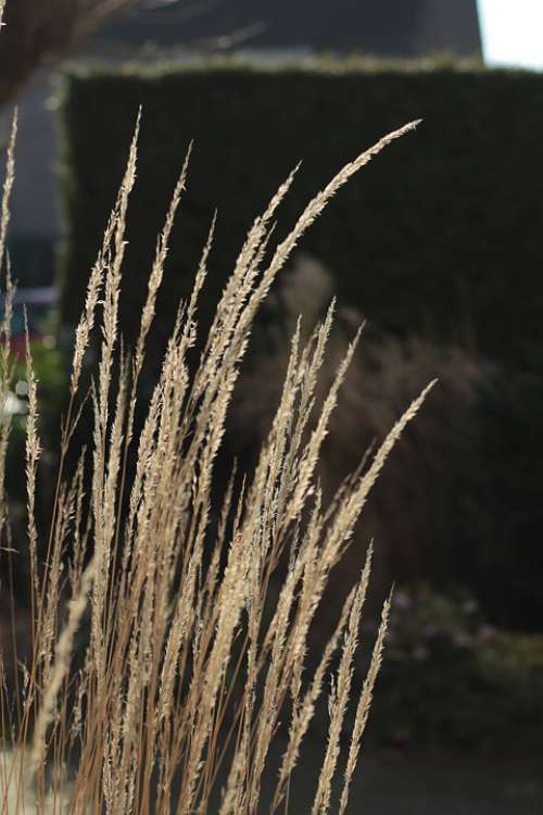 Ornamental Grass Winter Sun Sunlight Season Light