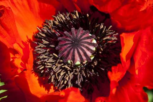 Ornamental Poppies Half Rosette Plant Flower Nature