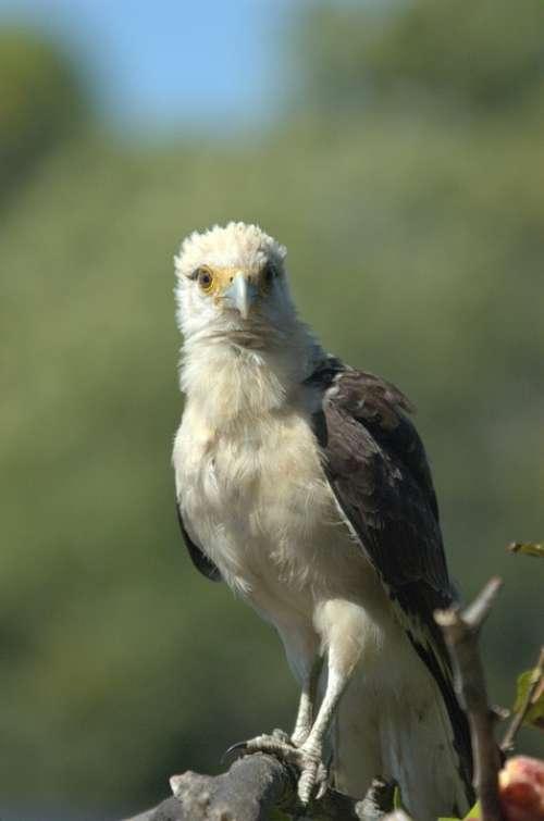 Osprey Llanos Venezuela Raptor Animal