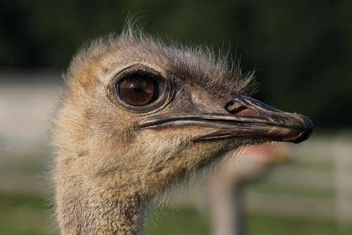 Ostrich Animal Beak Bird