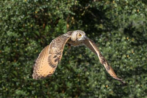 Owl Prey Bird Nature Wildlife Animal Predator