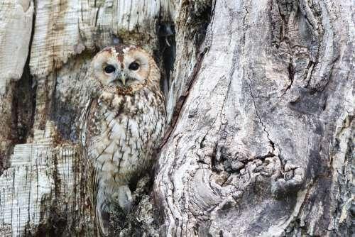 Owl Camouflage Wildlife Bird Of Prey Predator Bird
