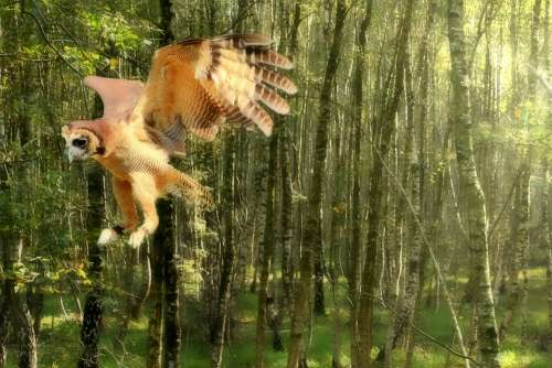 Owl Flight Forest Animal Nature Flying Feather