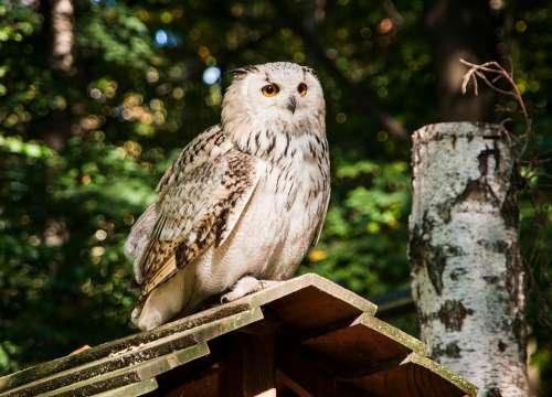 Owl Eagle Owl Snowy Owl Bird Nature Feather