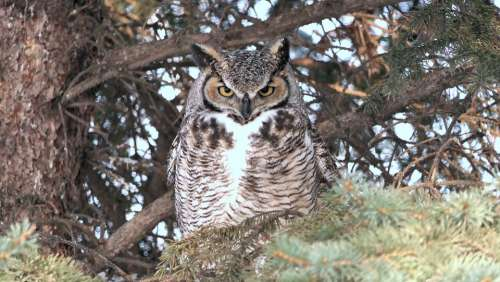Owl Great Horned Nature Wildlife Raptor Nocturnal