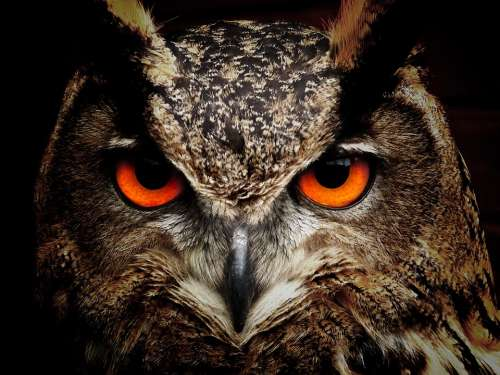 Owl Bird Eyes Eagle Owl Birds View Animals