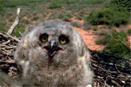 Owl Great Horned Baby Young Nest Beak Predator