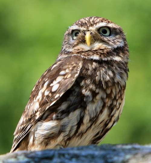 Owl Bird Animal Nature Little Owl Beautiful