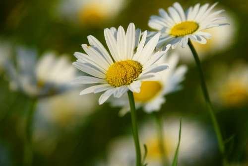 Ox-Eye Daisy Daisy Flower Blossom