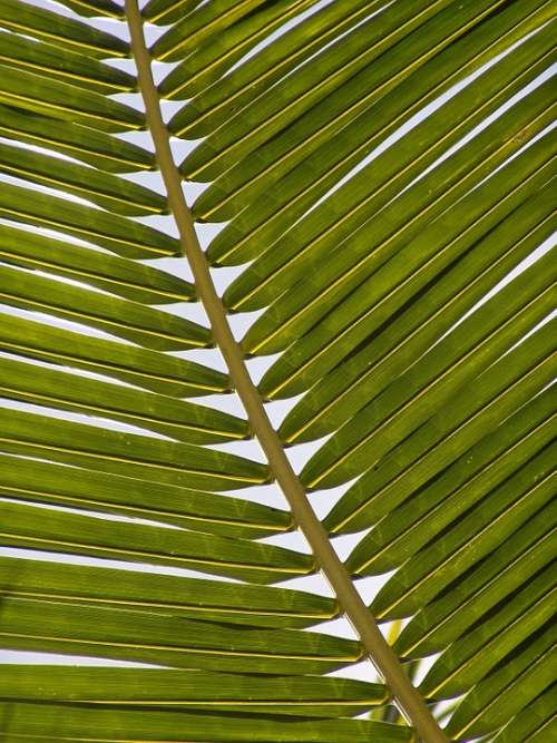 Palm Frond Leaf Exotic Palm Tree Palm Fronds