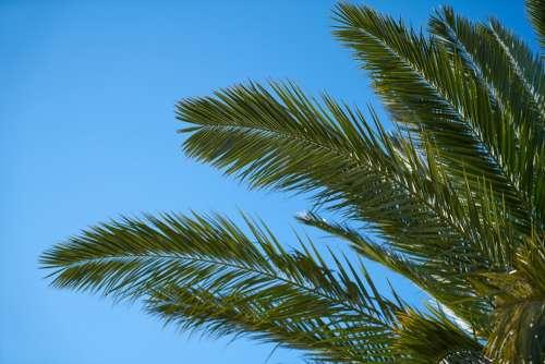 Palm Tree Palm Tree Nature Tropical Leaves Plant