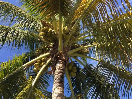 Palm Florida Tree Tropical Nature Green Fronds