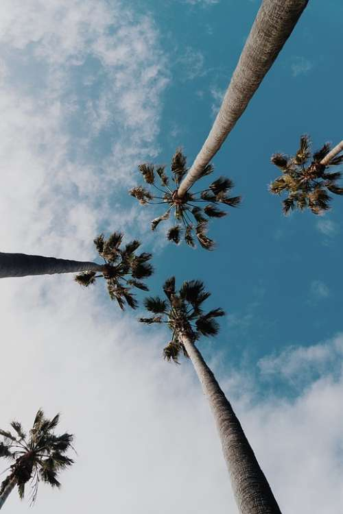 Palm Tree Tropical Sky Summer Time Palms Up Tall