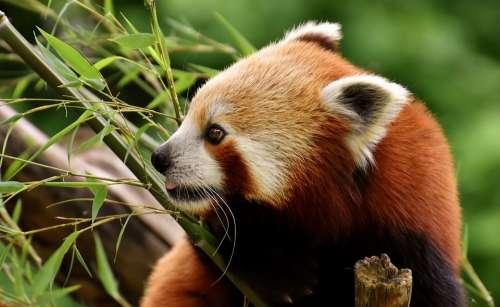 Panda Red Panda Bear Cat Ailurus Fulgens Predator
