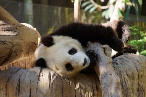 Panda Mammal Animal China Bear