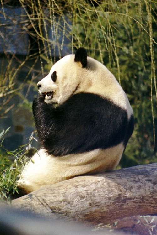 Panda Giant Panda Bear White Black Zoo Wildlife