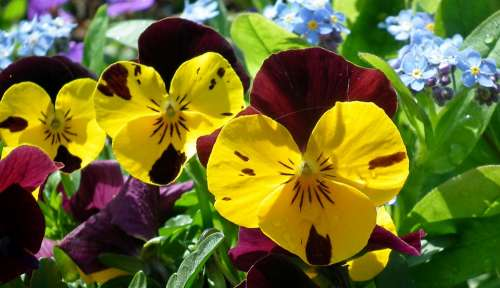 Pansies Flowers Spring Garden Nature Colorful