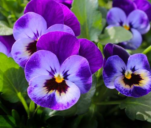 Pansy Flowers Plant Nature Spring Violet Blossom