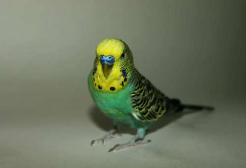 Parakeet Parrot Blue Yellow Animal Pet