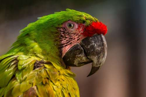 Parrot Colorful Ara Exotic Beak Fauna Bird