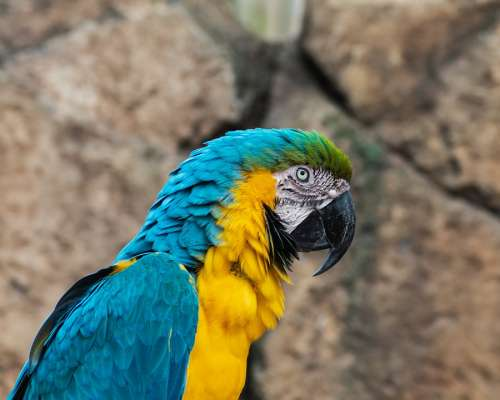 Parrot Macaw Yellow And Blue Macaw Bird