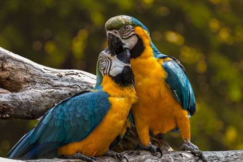 Parrots Exotic Ara Animal Birds Love Couple