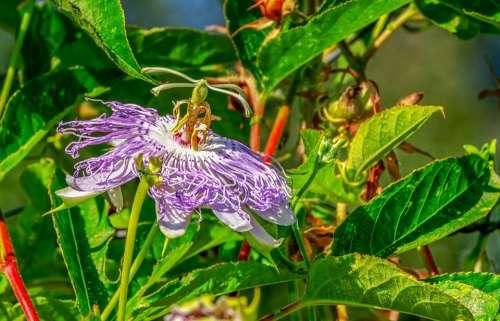 Passion Flower Passiflora Flower Blossom Bloom
