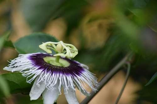 Passion Fruit Flower Flourish Flowering Exotic