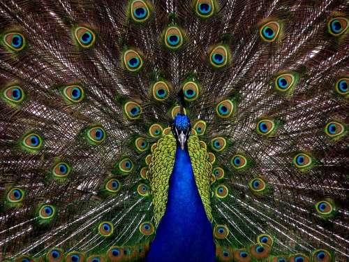 Peacock Bird Plumage Display Full Elegant