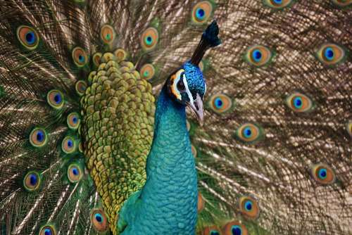 Peacock Bird Colorful Animal Feather Blue Poultry