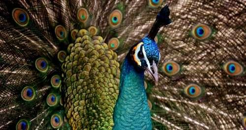 Peacock Beautiful Colorful Bird Color Pride