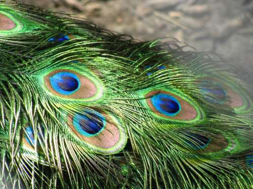 Peacock Feathers Tail Plumage Green Blue