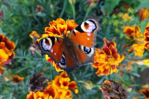 Peacock Butterfly Butterfly Nature Summer Flowers