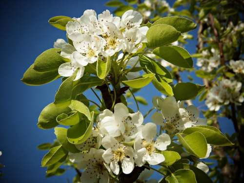 Pear Blossom Fruit Flowers White Green Leaves