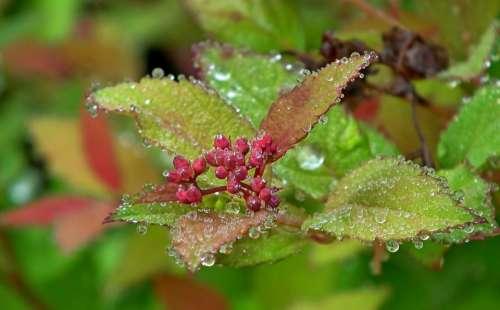 Pęcherznica Plant Bush The Buds Summer Nature