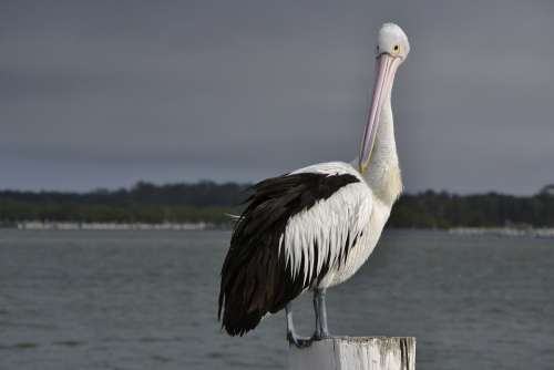 Pelican Seabird Wildlife Beak Aquatic Waterbird