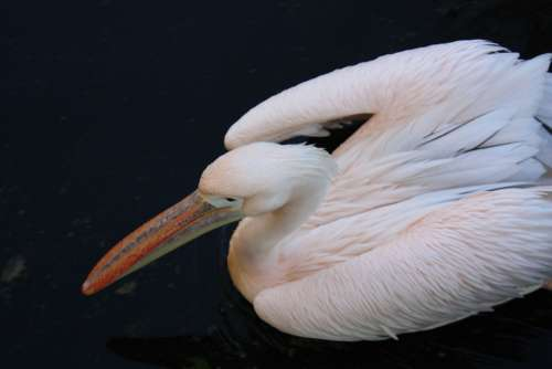 Pelican Bird Rose