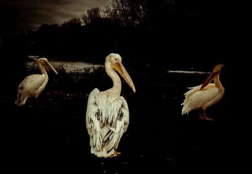 Pelican Party Nature Water Animals Birds Friends