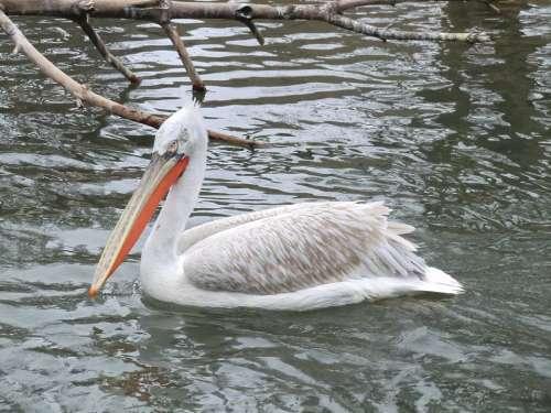 Pelican Animal Water Bird Nature Swim Vacation