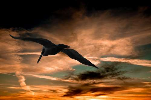 Pelican Sunset Clouds Nature Wildlife Sky Flying