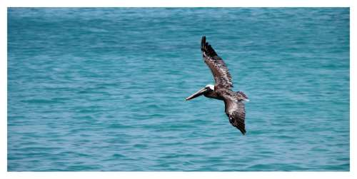 Pelikan Bird Brown Pelican Pelecanus Occidentalis
