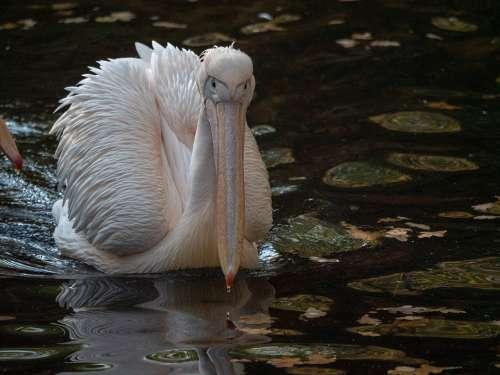 Pelikan Africa Zoo Bird Water Water Bird Plumage