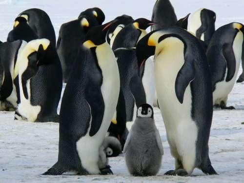 Penguins Emperor Penguins Baby Antarctic Life