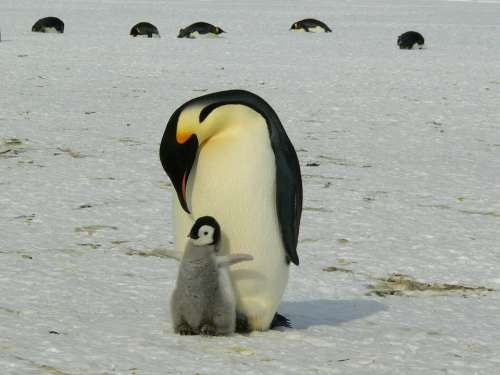Penguins Emperor Penguins Baby Mother Parent