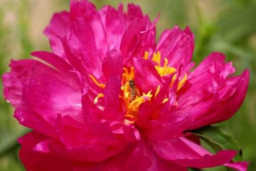 Peony Pink Flower Closeup Beautiful Flower Bloom