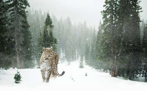 Persian Leopard Leopard Snow Leopard Snow Winter