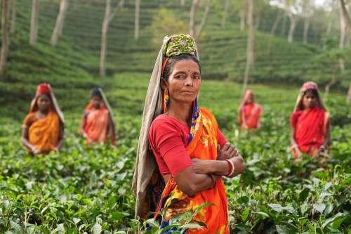 Person Woman India Fields Plantage Tea Plants