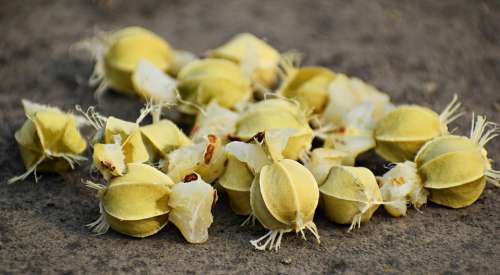 Phyllanthus Emblica Amla Amalika Seeds Tree Fruit